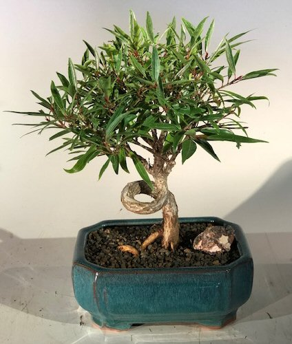 <b><font color = red>FREE SHIPPING ON THIS TREE </font></b><br>Willow Leaf Ficus Bonsai Tree - Medium <br>Coiled Trunk Style <br><i>(ficus nerifolia/salicafolia)</i>