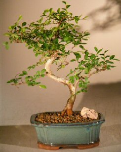 Chinese Elm Bonsai Tree Trained Curve Trunk Style - Small (Ulmus Parvifolia) Image