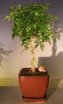 Image: Hawaiian Umbrella Bonsai Tree Braided Twist - Variegated (Arboricola Schefflera)