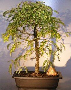 Flowering Tamarind Bonsai Treeextra Large Tamarindus Indica