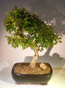 Flowering Sweet Plum Large Sageretia Theezans
