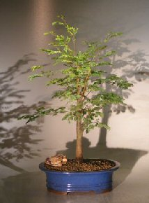 Horseflesh Mahogany - Large <br><i>(lysiloma sabicu)</i>