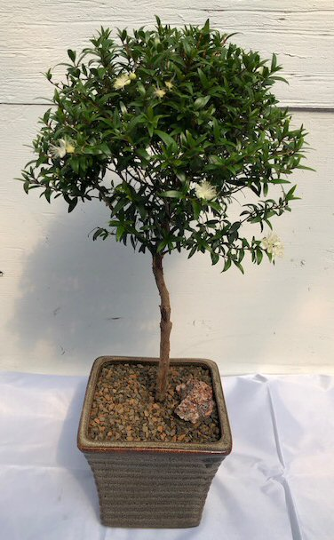 Flowering Myrtle Bonsai Tree Large Upright Broom Style Myrtus Communis Compacta