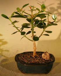 Flowering Tropical Dwarf Apple Bonsai Tree - Small (clusia rosea 'nana') Apple, Apples, Apple Tree, Apple Trees, Dwarf Apple Tree, Fruit trees, Orchard Trees, Fruit Orchard