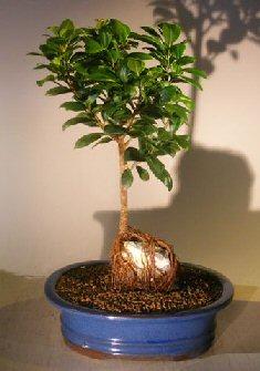 Ginseng Ficus Bonsai Tree Mediumroot Over Rock Style Ficus Retusa