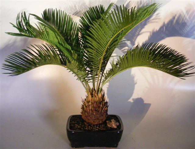Sago Palm Bonsai Tree<br><i>(cycas revoluta)</i>