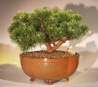 Mugo Pine Bonsai Tree Large (pinus mugo 'valley cushion') Image