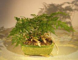 White Rabbit's Foot Fern Bonsai Tree (humata tyermanii)
