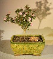 Flowering Pink Serissa – Medium (Serissa Foetida)