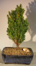 Cryptomeria Bonsai Tree- Medium (japonica – tansu)
