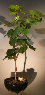 Wine Grape Bonsai Tree Chardonnay