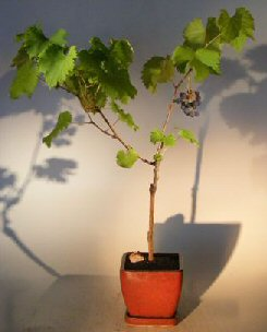 Seedless Grape Bonsai Tree<br><i>Vitis labrusca 'Reliance'</i>