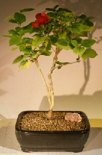 Flowering Coolie Cap Bonsai Tree (AKA Chinese Hat) (holmskioldia sanguinea)