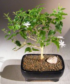 Flowering Downy Jasmine (jasminum 'multiflorum')