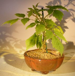 Flowering Raspberry Bonsai (Raspberry Idaeobatus)