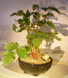 Flowering Blackberry Bonsai (Rubus Fruitcosus)