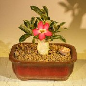Flowering Desert Rose Bonsai Tree – Small (Adenium Obesum)