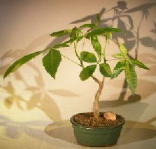 Money Bonsai Tree – 'Good Luck Tree' (pachira aquatica)