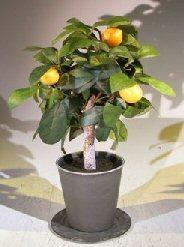 Artificial Lemon Bonsai Tree Image