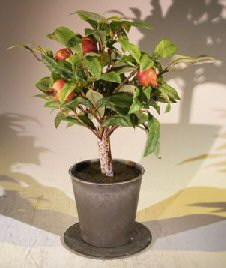 Artificial Pomegranate Bonsai Tree Image