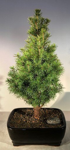 Alberta Spruce Bonsai Tree - With Holiday Bow (Picea Glauca Conica) Image