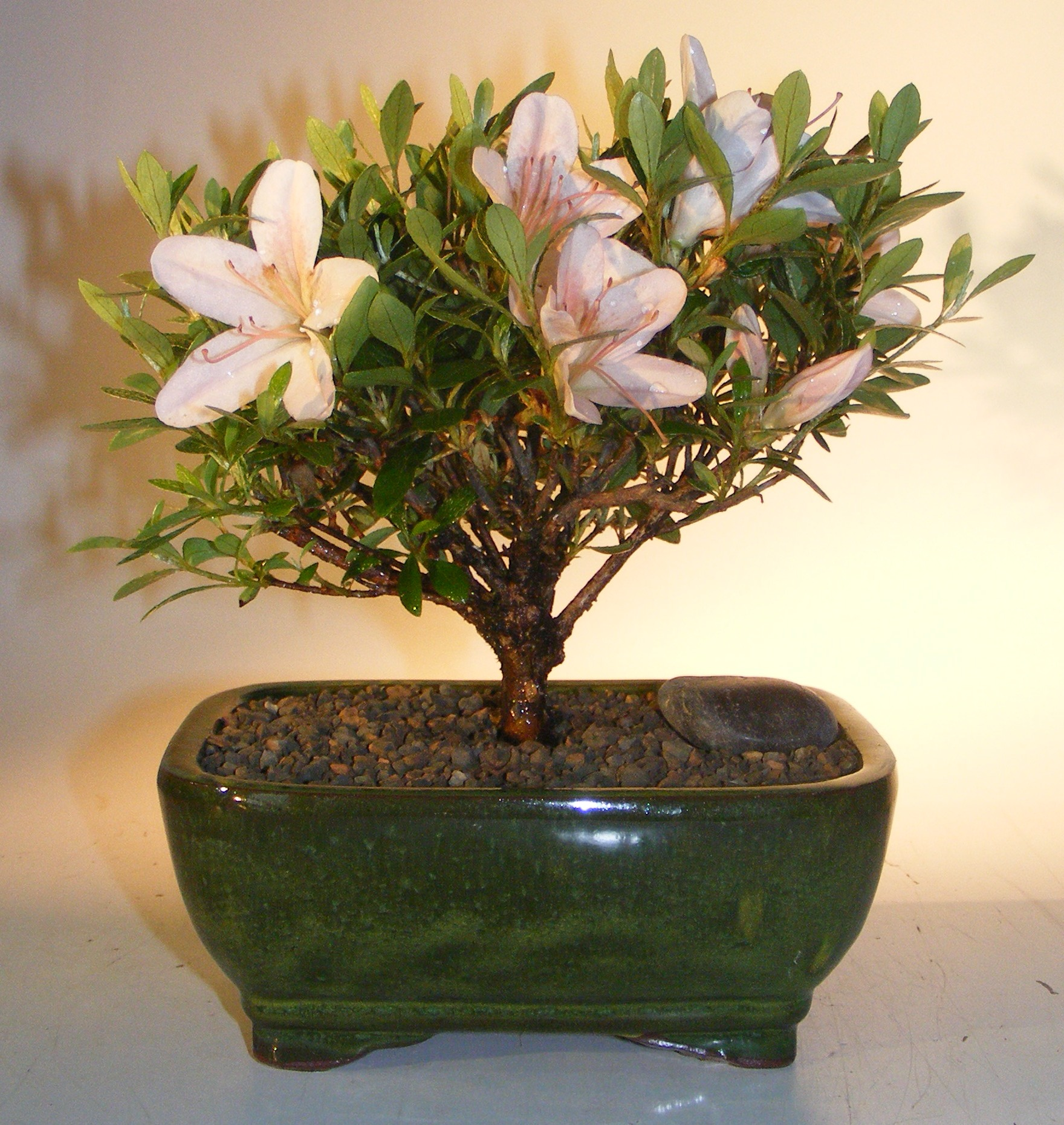 Flowering Azalea Bonsai Tree(Rhododendron 'obtusum') Image