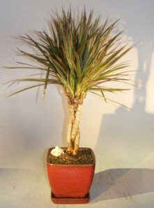 Dracena Bonsai Tree<br>Braided Trunk - Variegated<br><i>(Dracena Marginata)</i>