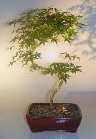 Japanese Green Maple Bonsai Tree Curved S Shape Trunk Acer Palmatum