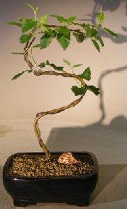 Paper Birch Bonsai TreeCurved S Shape Trunk(betula papyrifera) Image