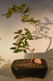 Copper Beech Bonsai TreeTrained S shaped trunk(fagus sylvatica 'purpurea') Image