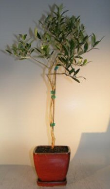 Flowering and Fruiting Arbequina Olive Bonsai Tree - Twist Style (arbequina) Image