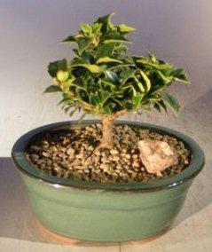 Ilex Holly Bonsai Tree(rock garden) Image