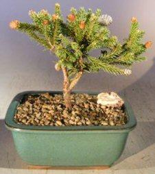Dwarf Norway Spruce Pusch Bonsai Treepicea Abies Pusch