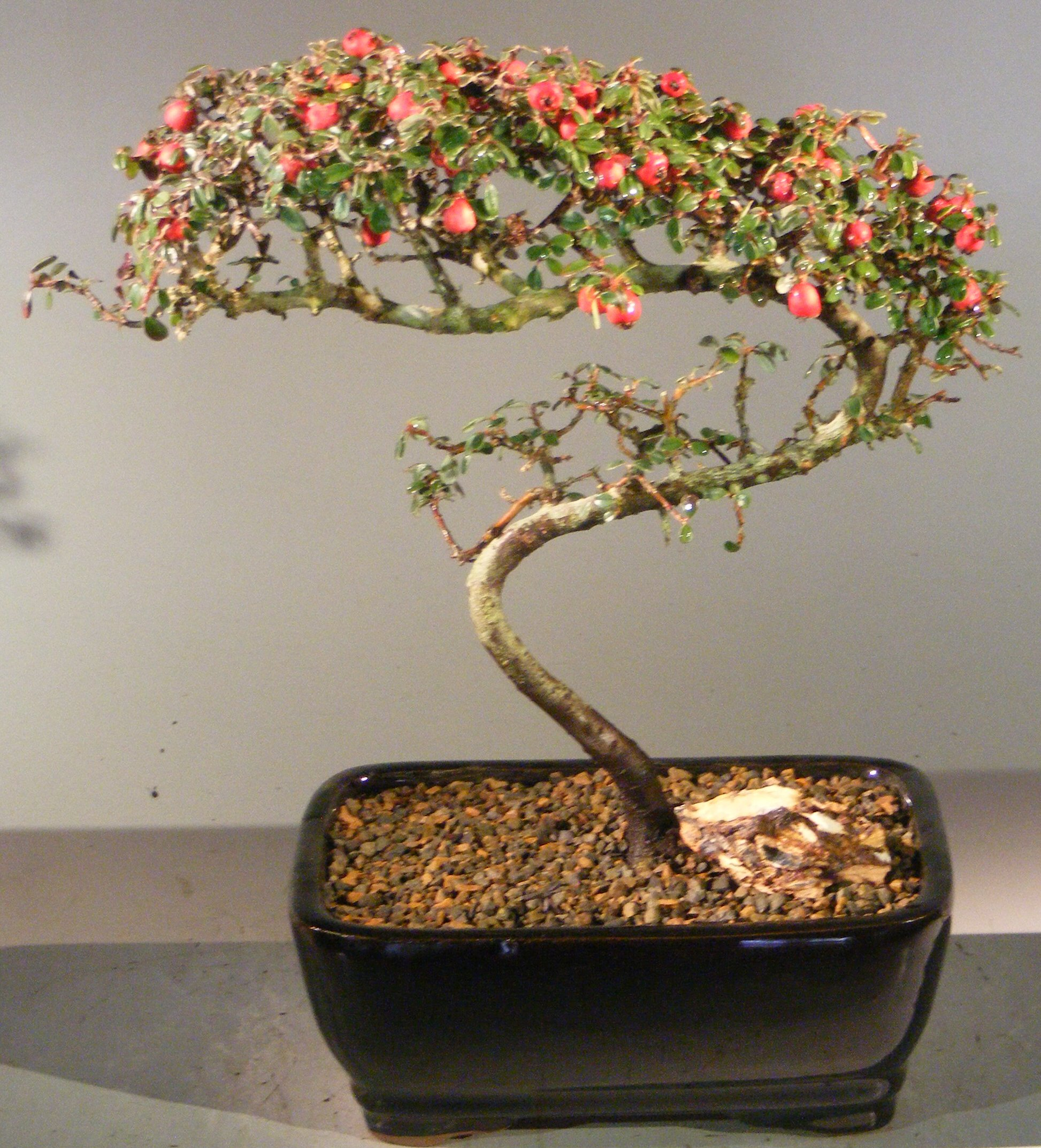 Flowering & Fruiting Evergreen Cotoneaster Bonsai TreeCurved Trunk Style(dammeri 'streibs findling') Image