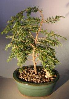 Canadian Hemlock Prostrate Bonsai Tree(tsuga canadensis 'coles prostrate') Image