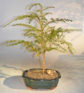 Canadian Hemlock Bonsai Tree Tsuga Canadensis