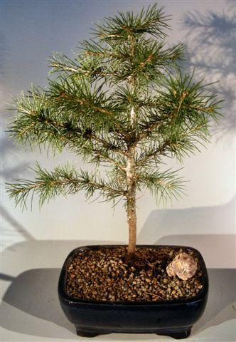 Lebanon Cedar Bonsai Tree Cedrus Libani