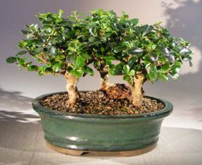 Fukien tea bonsai tree upright aged three tree forest group e1952 2g e3331g mightylinksfo