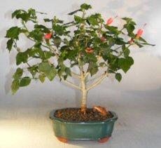 Flowering Dwarf Hibiscus Largemalvaviscus Alboretus Compactus