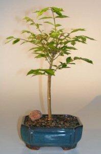 Dwarf Burning Bush Bonsai Tree(euonymous atlas 'compactus') Image