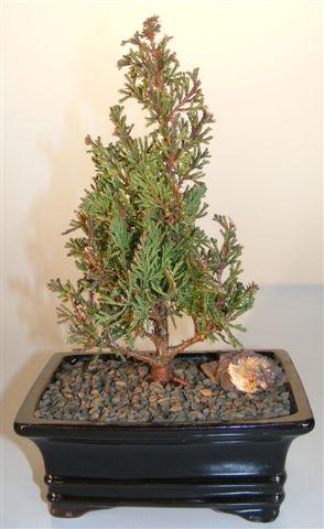 Atlantic White Cedar Bonsai Tree (cupressaceae chamaecyparis 'thyoides top point') Image