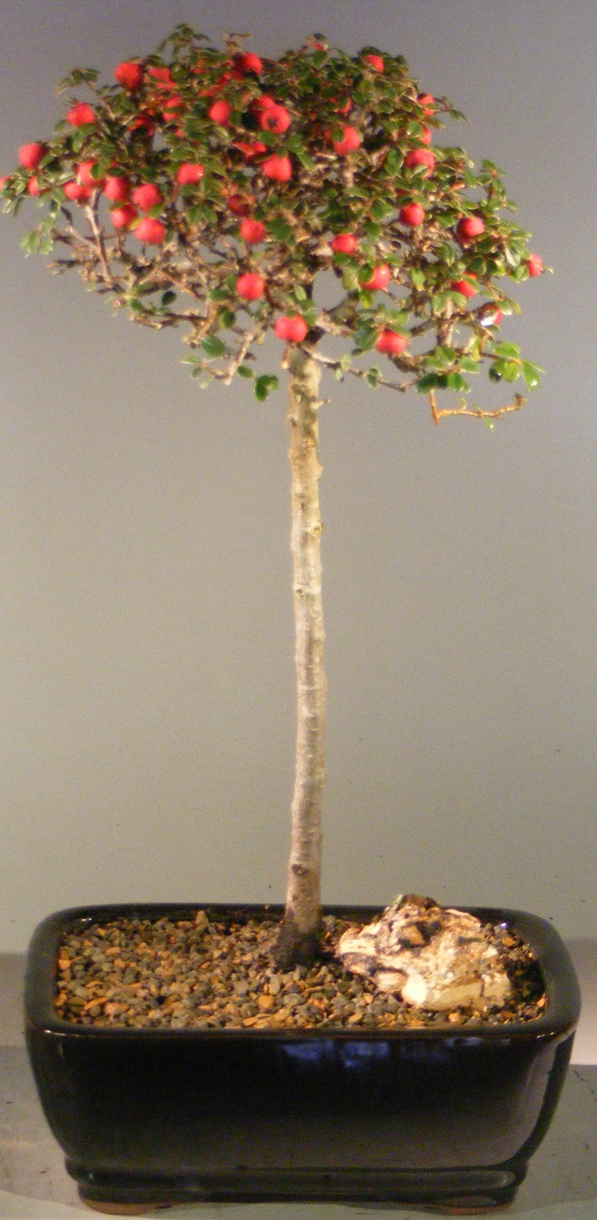 Flowering & Fruiting Evergreen Cotoneaster Bonsai Tree Upright Style(dammeri 'streibs findling') Image