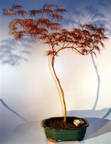 Japanese Red Filgree Lace Maple Bonsai Tree (acer palmatum dissectum) Image