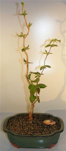 Walking Stick Bonsai Tree (corylus avellana 'contorta') Image