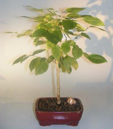 American Hornbeam Bonsai Tree (carpinus caroliniana) Image