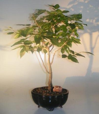 European Hornbeam Bonsai Tree(carpinus betulus) Image