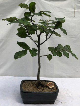 European Beech Bonsai Tree Fagus Sylvatica