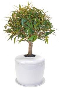 Willow Leaf Ficus Bonsai Tree (ficus nerifolia/salisafolia)