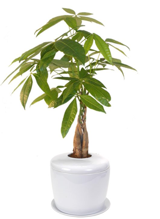Braided Money Bonsai Tree <i>(pachira aquatica)</i><br> and Porcelain Ceramic Cremation Urn<br>with Matching Humidity / Drip Tray