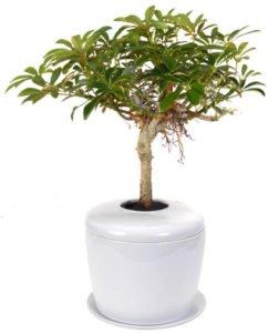 Hawaiian Umbrella Bonsai Tree (arboricola schefflera 'luseanne')